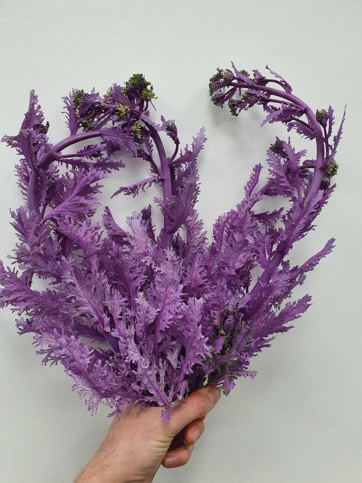 Broccoli Winter Paars 2947